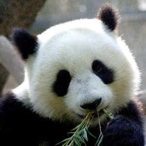 panda eatting bamboo leaves Image