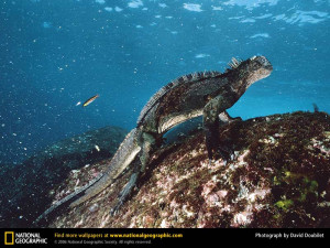 ... underwater, and return to the rocky shores of the Galápagos Islands