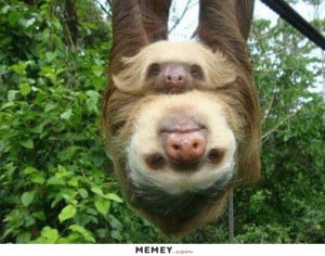Two Sloths Hanging From A Tree