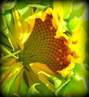sunflower progression