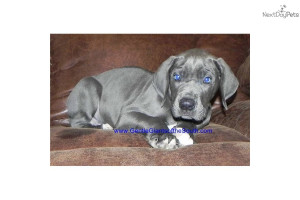 sale-today-gorgeous-blue-female--great-danedog-great-dane-puppy ...