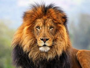 Raubkatzen: Löwen Hintergrundbilder - 1920x1440