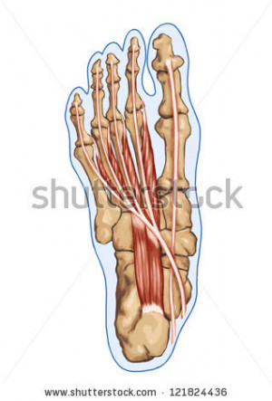 Lubricals Anatomy Leg And