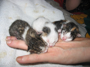Cute Kittens For Adoption Hd Magazines Baby Kittens Cute Baby Kittens ...