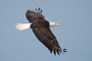 Washington State Bald Eagle