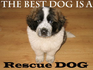 rescued St. Bernard