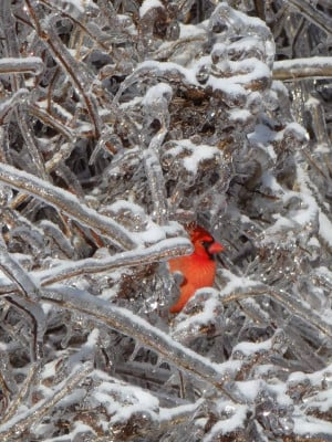 ... Cardinal appears in a tree this Christmas day, after an ice storm