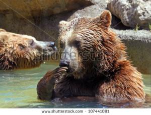 Brown Bear Ursus Arctos Funny Position Stock Photo