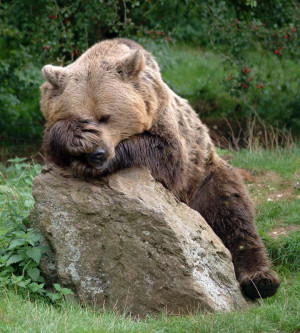 Brown bears were present in Britain until around 500 AD when they were ...