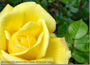 Yellow: In the Victorian times, yellow roses meant jealousy. But today ...