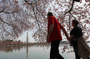 Cherry trees blossom in Washington, DC