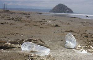 small blue sea creatures called velella velella have washed up on