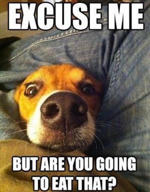 dog begging for food
