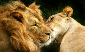 Lion And Lioness Wallpaper