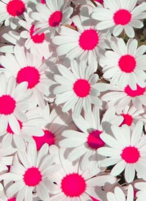 background, cute, daisy, neon, pink, wallpaper