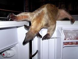 ... anteater spiny anteater silky anteater funny anteaters funny anteater