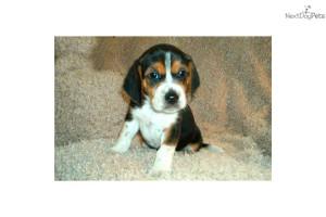 ranger-small-beagle--puppydog-beagle-puppy-6ed24530-2c68-48f2-a4d4 ...