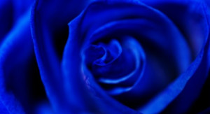 Blue Rose - Environment News - Israel