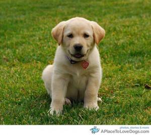 cjcamCharlee 6 week old Lab, Golden Retriever puppy
