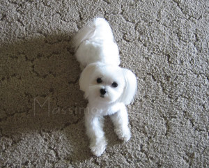 Search Results for: Maltese Puppy Cut