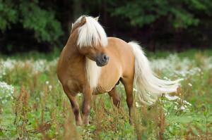 Miniature Horses Stallions