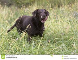 Chocolate Labrador Retriever...