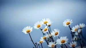 DAISY-THE DEMURE APRIL BIRTH FLOWER