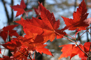 ... Pictures: Quotes To Write In A Sympathy Card With Red Leaf In The Tree