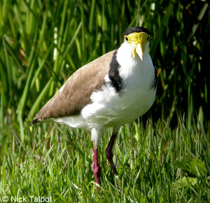Masked Lapwing Vanellus Miles A Bird Standing On Grass picture