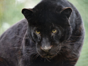 Forum Talk about anything What is your favourite big cat? (17)