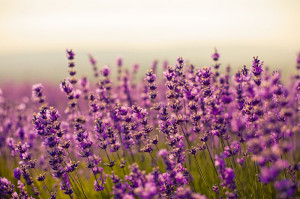 purple lavender flowers jigsaw puzzle how many pieces 12 24 35 40 54 ...