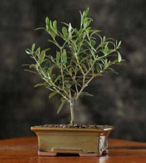 bonsai tree olive tree jpg