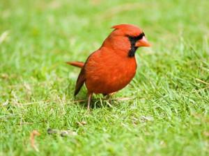 Male Cardinal Bird Quotes