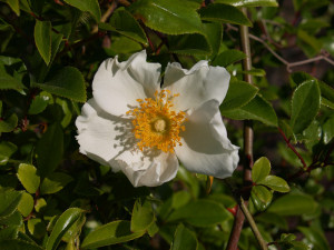 Legend The Cherokee Rose