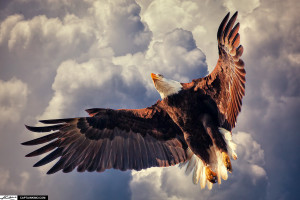 American Bald Eagle Flying in Cloudy Sky