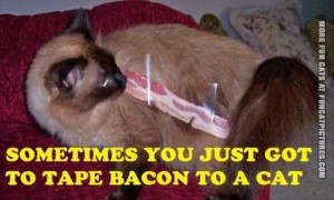 funny cat pics bacon on a cat