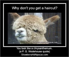... haircut? You look like a chrysanthemum. - P. G. Wodehouse #alpacas