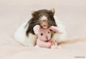 Tags: Cute Rats , Funny and Cute Rats , Rats