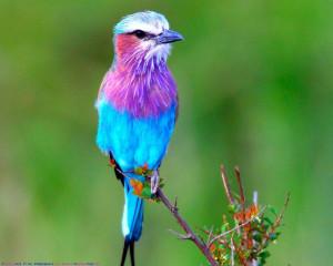 Lavender & Blue Bird - Beautiful Birds Wallpaper