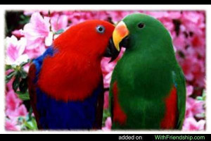 Eclectus Female and Male Parrot