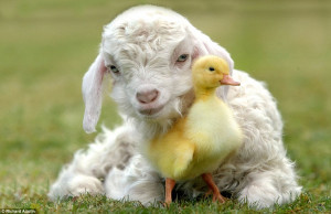 goat kid nuzzles up to a duckling to create an incredibly cute scene