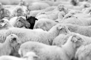black_sheep.jpg