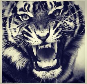Tiger Quotes Tumblr Tiger