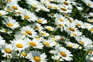 Il periodo di fioritura delle margherite va da maggio a settembre.