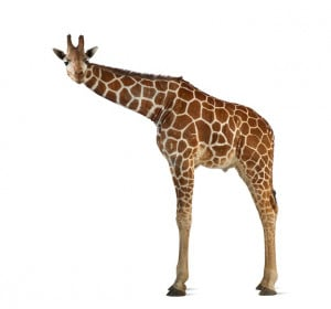 Pictures Giraffe Facts Food...
