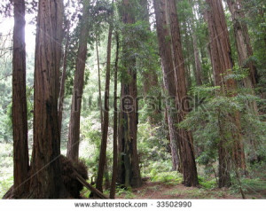 Giant Redwood Sequoia Trees at Muir Woods in California - stock photo