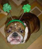 ... Pictures bulldog information funny bulldog photos dressed up bulldogs