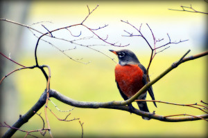 Sure sign of Spring - Robin - Bird by LinuxRemixes