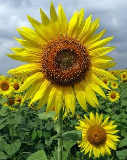 Sunflower Quotes Or Poems Quotesgram