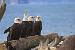 photo archive www hickerphoto com bald eagle pictures eagles birds
